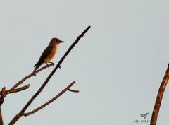 Olive sided flycatcher (AnthonyVanSchoor) Tags: birding howardcountybirdclub olivesidedflycatcher documentation marylandbiodiversityproject howardcountymaryland