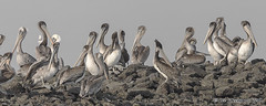 Preparing For The Day (pandatub) Tags: ebparks ebparksok bird birds pelican brownpelican hrs haywardregionalshoreline