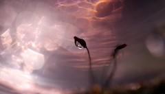 Du Crépuscule a l Aurore (Callie-02) Tags: scintillement brillance couleurs nature été jardin extérieur reflets réflexion douceur bokeh macrographie macro profondeurdechamp canon rosée perle eau goutte drop plante germe mousse
