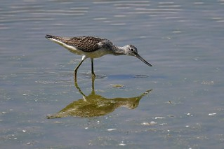 Chevalier aboyeur - Tringa nebularia -Common greenshank