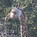 Giraffa camelopardalis giraffa (Southern Giraffe)