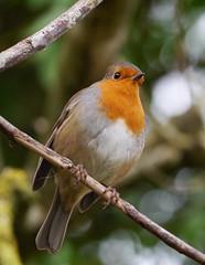 Robin (Erithacus rubecula), Leighton Moss RSPB Reserve (Niall Corbet) Tags: rspb leightonmoss robin erithacusrubecula