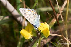 4B9A6027 Common Blue Male MANC 180804 copy (Glenn Beasley) Tags: butterfly butterflies commonblue male insect macro macrodreams macrounlimited