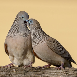 courtship #2 - peaceful doves