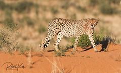 Red dune Queen! (Jambo53 (catching up)) Tags: cheetah jachtluipaard kgalagadi southafrica copyrightrobertkok reddune rodeduin ktp kgalagaditransfrontierpark nikond500 nikon500f4 acinonyxjubatus hunter jager mammal zoogdier roofdier predator