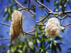 Madagascar - Cotton Tree (Jarecki Photography) Tags: madagascar madagaskar trip holiday lemur nos iranja nose be jarecki adventure wale turtles sea ocean africa cameleon boa spider rum fishing island