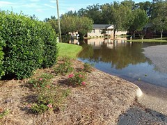 Flood Waters And Miniature Roses. (dccradio) Tags: lumberton nc northcarolina robesoncounty outdoor outdoors outside nature flood floodwaters reflection building apartmentbuilding miniatureroses architecturepinestraw bluesky clouds tree trees foliage grass lawn greenery pole powerpole utilitypole electricpole firehydrant leaf leaves bushes shrubs paved pavement independencedrive culdesac september latesummer earlyfall earlyautumn monday afternoon samsung galaxy smj727v j7v cellphone cellphonepicture water bodyofwater