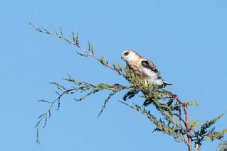DSC_3080.jpg White-tailed Kite, Natural Bridges