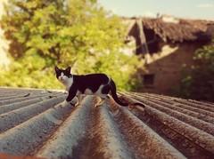 El gato sobre el tejado... (martabarbero) Tags: ojosdegato gatos tejados gatitos mascotas cats felinos gatocallejero