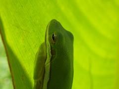 Green Tree Frog (Hyla cincerea) (T_Hancock) Tags: herp anuran frog