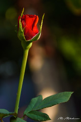 Red Rose from our garden (Milen Mladenov) Tags: 2018 varbovchet blooming blossom bokeh flower flowers leaf leaves light nature petals plant red redrose rose roses stamens view