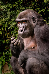 Young Gorilla 3-0 F LR 9-16-18 J090 (sunspotimages) Tags: animal animals gorilla gorillas nature wildlife zoo zoosofnorthamerica zoos nationalzoo fonz fonz2018