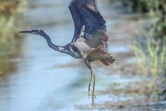 Lift off (ray 96 blade) Tags: heron surprise spookedup groveferry stodmarshnnr wildlife birds springwatch kent
