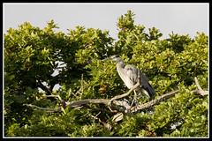 IMG_0012 Grey Heron (Scotchjohnnie) Tags: greyheron ardeacinerea heron ornithology bird birdphotography birdwatching ukbirds wadingbird wader waterbird waterfowl wildlife wildlifephotography wildandfree nature naturephotography naturewildlifeandbirds canon canoneos canon7dmkii canonef100400f4556lisiiusm scotchjohnnie