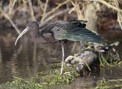 IMG_0960-Ibis (Jerry OB) Tags: plegadisfalcinellus glossyibis uk gb bird stream river sunshine sheen feathers