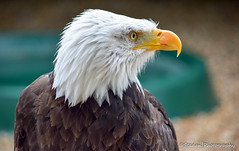 Bald Eagle (stedanphotography) Tags: eagle nikon d3300 bird