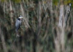 DSC_4705_edit (Hanzy2012) Tags: toronto ontario canada wildlife bird d500 afsnikkor500mmf4difedii greatblueheron ardeaherodias