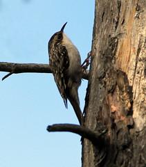 Grimpereau (Marie-Helene Levesque) Tags: oiseau abitibi valdor loft côtede100pieds grimpereau mariehélène mariehelene