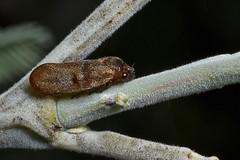 "Petyllis deprivata (Cercopidae) (servitude) Tags: insecta hemiptera homoptera auchenorrhyncha cicadomorpha cercopoidea cercopidae cercopinae petyllis ""petyllis deprivata"" froghopper bug australia tasmania buckland"