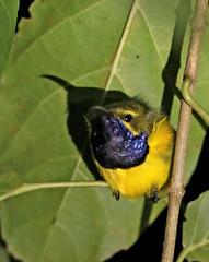 Suimanga dorsioliva / Olive-backed sunbird / Cinnyris jugularis (vic_206) Tags: suimangadorsioliva olivebackedsunbird cinnyrisjugularis bird indonesia sulawesi tangkoko