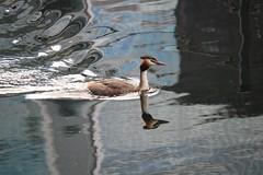 180819 - London - Blackwall Basin, Reflections 4 - Great Crested Grebe (Sarahs_Railways) Tags: greatcrestedgrebe poplardockmarina blackwallbasin london reflections