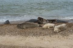 2018_Norfolk_HorseyBeach_Seals_11 (atkiteach) Tags: norfolk uk england horsey horseybeach sea seaside northsea beach seal seals