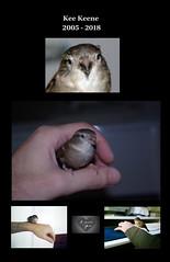 RIP  Miss Kee Keene my Love (Terry Minella) Tags: moineau sparrow bird love littleheart petitcoeur