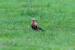 Hoopoe (PB2_3137) (Param-Roving-Photog) Tags: hoopoe bird wildlfie grassland wetland khajjiar lake ngt grass ecology nature conservation dalhousie himachal himalayas miniswitzerland incredibleindia