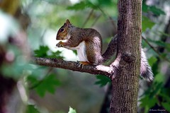 Gray Squirrel in Tree (Anne Ahearne) Tags: wild animal nature wildlife gray grey squirrel easterngraysquirrel tree leaves bokeh cute animals feeding eating forest woods