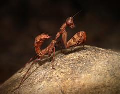 Pnigomantis medioconstricta (emmy_4) Tags: macro makro makrofotografie pnigomantis nahaufnahme canon sigma macrofotography mantide mantis diy diffusor