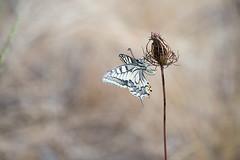 Machaon suite . (bertolinijacques) Tags: macro proxy insectes nature exterieur lépidoptères papillons teinte beige machaon cévennes gard france