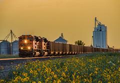 RR-20180813-BrushSub-76-Edit (skyviewtim) Tags: bnsf9183 coalempty coloradorailroads coloradotrains roggen sunflowers
