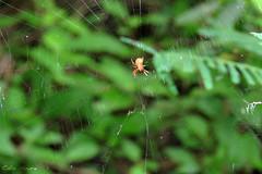 (Célio Moura Neto) Tags: biologocelio canon sx60 sx60hs fotonaturalismo biologo biologia natureza ecologia vidaselvagem wildlife wildlifephotography naturephotography biology ecology arthropoda chelicerata arachnida araneae araneomorphae araneidae aranha spider
