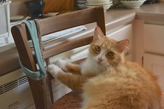 """Is it okay if I play with these?"" --Jimmy (rootcrop54) Tags: jimmy orange ginger tabby male headband tallchair kitchen neko macska kedi 猫 kočka kissa γάτα köttur kucing gatto 고양이 kaķis katė katt katze katzen kot кошка mačka gatos maček kitteh chat ネコ"