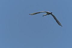 Spatule blanche (Yves.Henchoz) Tags: nikond5 tamron150600g2 tamron150600g2avectcx1414x nature sauvage oiseaux oiseauxsauvages suisse