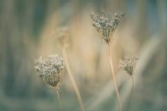 Spätsommer (michel1276) Tags: spätsommer september blume wildemöhre pflanze flora flower