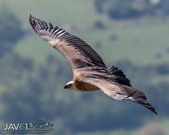 Griffon vulture (Gyps ulvus)-0507 (George Vittman) Tags: bird vulture vautourfauve nikonpassion provence alpes alps wildlifephotography jav61photography jav61 fantasticnature