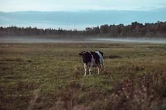 Cow | Kaunas county #257/365