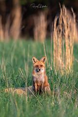 Red Fox - Vulpes vulpes | 2018 - 26 (RGL_Photography) Tags: carnivora fox gardenstate jerseyshore monmouthcounty mothernature newjersey nikonafs600mmf4gedvr nikond610 redfox us unitedstates vixen vulpesvulpes wildkingdom wildlife wildlifephotography