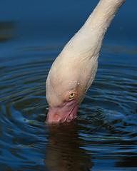 3128 Flamingo_D850 (greyhound rick) Tags: flamingo strobe nikon photoshop lightroom zoo phoenix arizona phoenixzoo beauty nature serene nikkor sb800 nikonlens nikond850 delicate blue colorful
