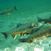 Arctic char gather for spawning