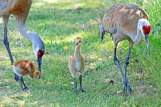 Sandhill Crane Family 18-0624-5173