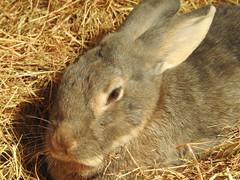 Sleepy Rabbit (blue33hibiscus) Tags: animal mammal rabbit paigntonzoo devon
