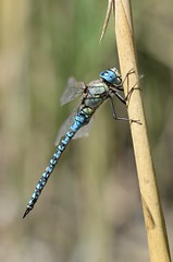 Southern Migrant Hawker (Aeshna affinis) 1 of 2 images (willjatkins) Tags: wildlife nature animal insect insects odonata dragonfly dragonflies dragonfliesanddamselflies damselfliesanddragonflies southernmigranthawker aeshna aeshnaaffinis europeanwildlife europeaninsects europeandragonflies ukwildlife ukodonata ukdragonflies ukdamselfliesanddragonflies britishwildlife britishinsects britishodonata britishdragonflies britishdragonfly britishdragonfliesanddamselflies macro macrowildlife closeup closeupwildlife nikon nikond610 sigma105mm essexwildlife dragonflyperching essexdragonflies