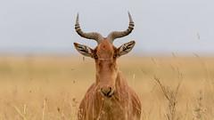 Nairobi-Nationalpark 044 (ovg2012) Tags: alcelaphuscokii cokeshartebeest eigentlichekuhantilopen kenia kenya nairobinationalpark safari