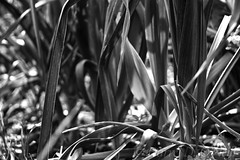 Leeks 3 (LongInt57) Tags: food leeks allium onion garden growing plants bw monochrome black white grey gray nature kelowna bc canada okanagan leaf leaves