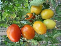 Tomate (artiste24artiste241) Tags: tomate fruit jardin plante