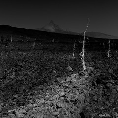 Trees on the lava field (Masako Metz) Tags: lava field trees nature fineart blackandwhite monochrome landscape oregon pacific northwest usa mtwashington deewrightobservatory rocks
