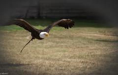 Aigle pygargue. (Crilion43) Tags: région parc aigles rapaces eure paille normandie paysages animaux verneuilsuravre jardin