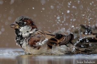 Pardal-comum, House sparrow (Passer domesticus)